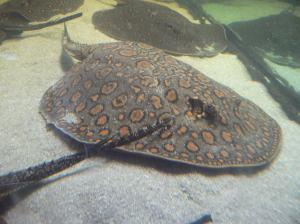 מתוך אתר www.aqua.org.il. האם הדג באמת רצה לגמור כתכשיט?