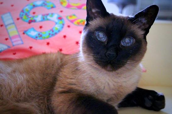 שמוליק. חתול גאון של אמא
